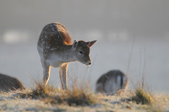Fawns First Frost