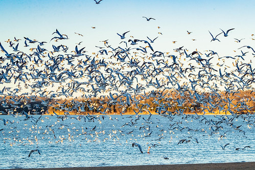 ringbilledgull ohio clermontcounty birds eastforkstatepark bantam flock