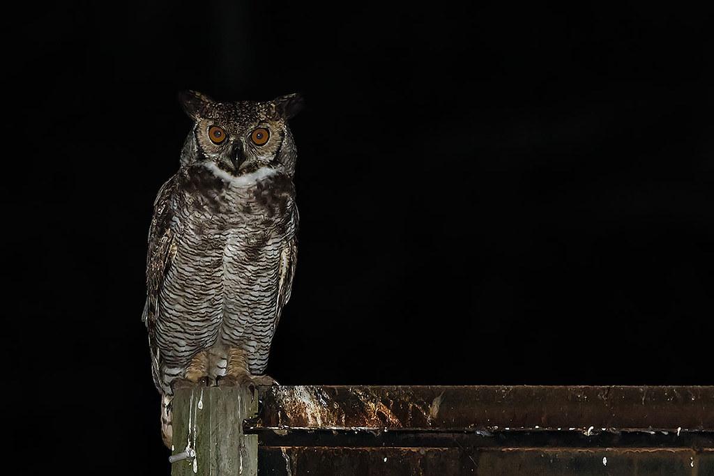 Jacurutu (Bubo virginianus) Great Horned Owl