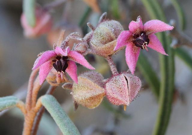 Lasiopetalum baueri - Slender Velvetbush