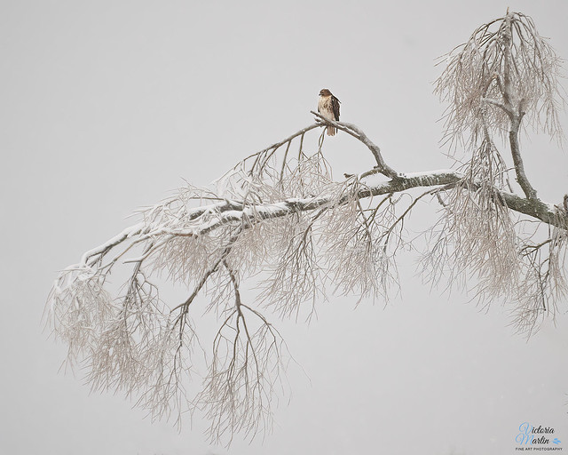 Red-tail Hawk in a Winter Storm