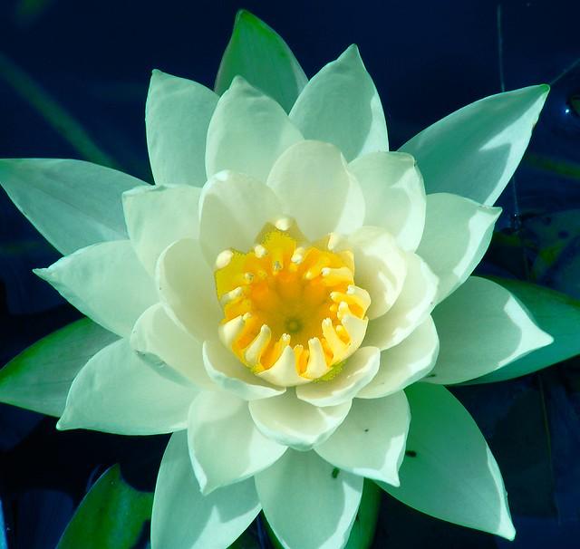Aquamarine Water Lily