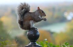 Grey Squirrel  (由  steve whiteley