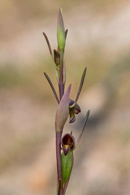 Horned Orchid or Bird's Mouth Orchid (Orthoceras strictum) - native to eastern & southern Australia