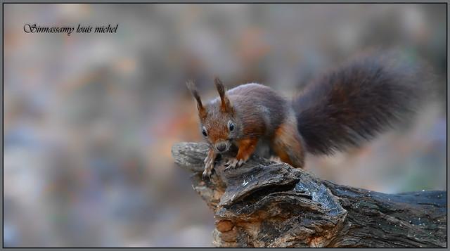 Red squirrel / Écureuil roux