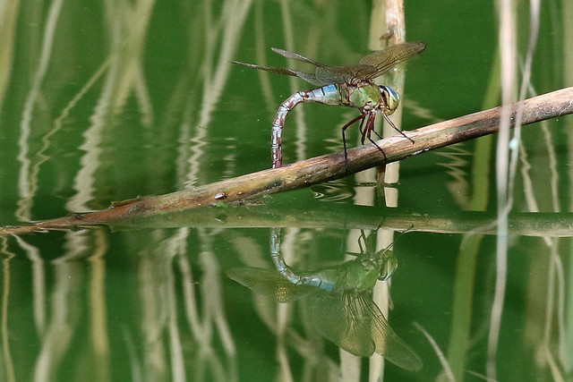 Anax imperator (f)