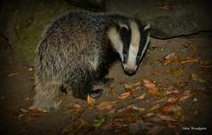 Badger cub - Buckinghamshire  (由  Alan Woodgate