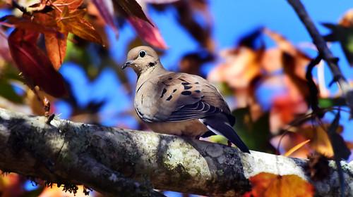 Autumn Mourning~ Mourning Dove (Zenaida macroura)
