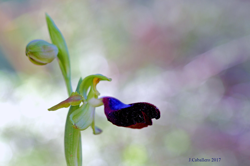 The Andalusian jewel (Ophrys atlantica)