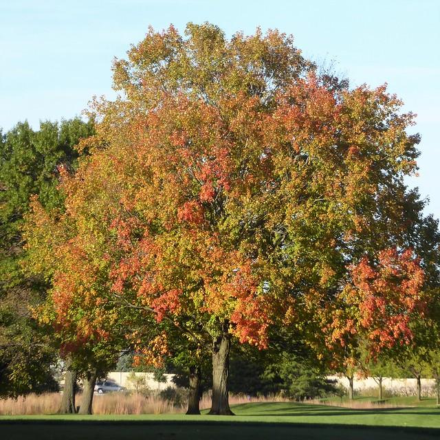 Wheaton, IL, Herrick Lake Forest Preserve, Tree with Fall Foliage