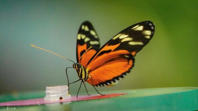 Butterfly - 7811