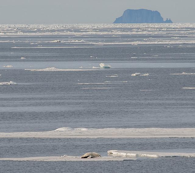 ... verso l'80° parallelo nord (19) ... l'orso, il suo mondo e le sue prede ...