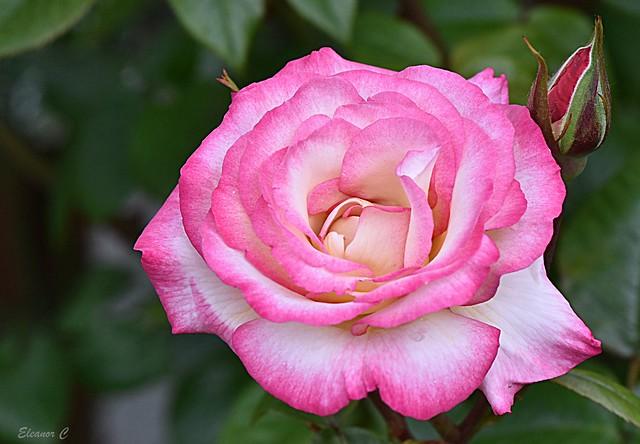 Thursday`s Flower (Rose