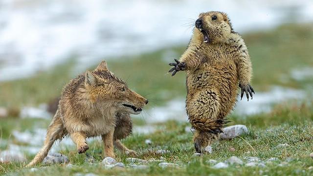 Body Yongqing Bao The marmot and the fox -BBC