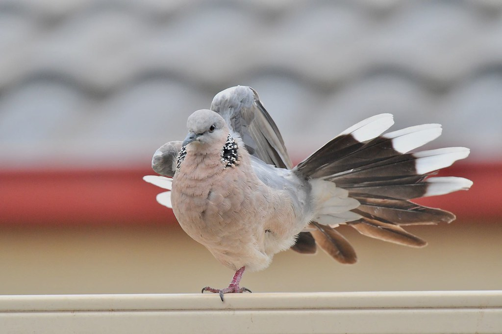 Spotted Turtle - Dove ( one leg stand )