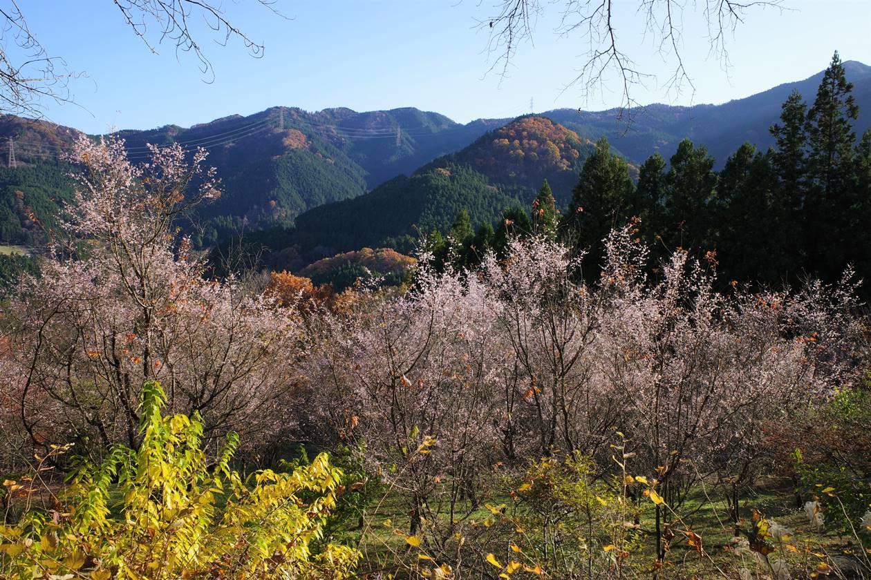 秩父・冬桜