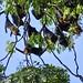 Close up to the fruit bats in Battambang.  Cambodia  Nov 2019 #itravelanddance