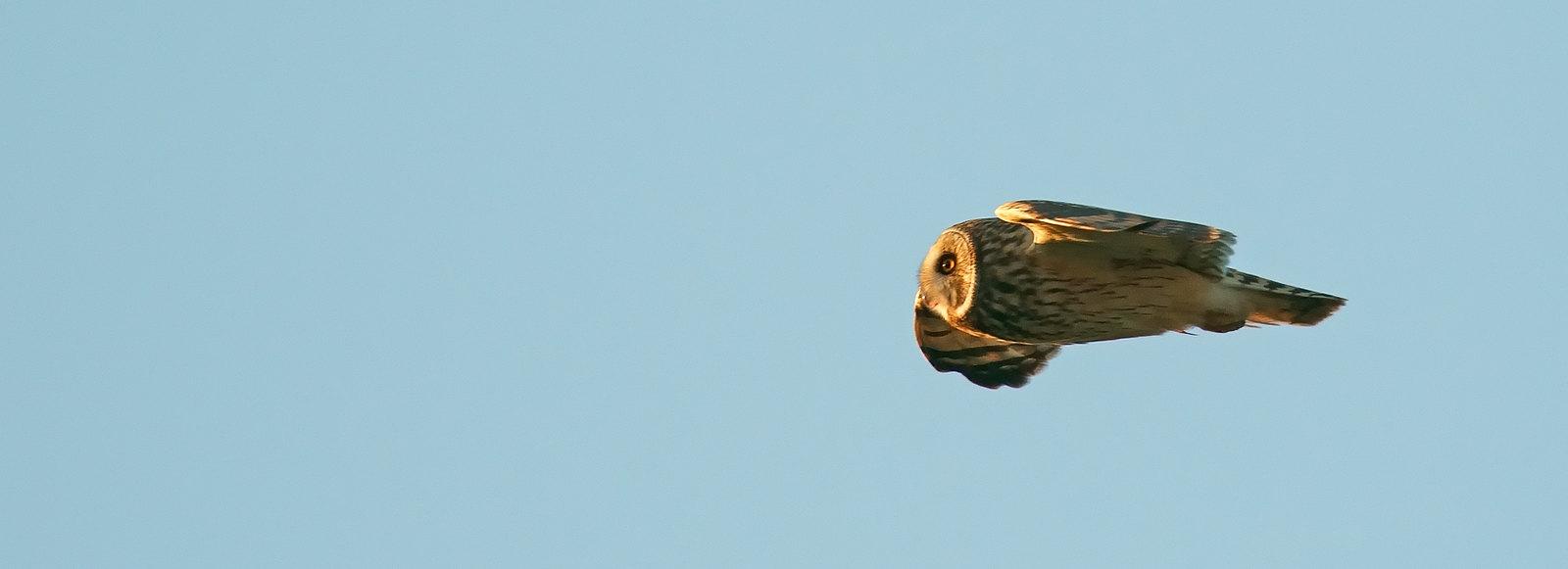 Short-eared Owl - like a bullet