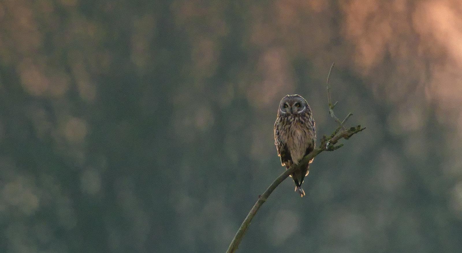 Short-eared Owl - almost dark