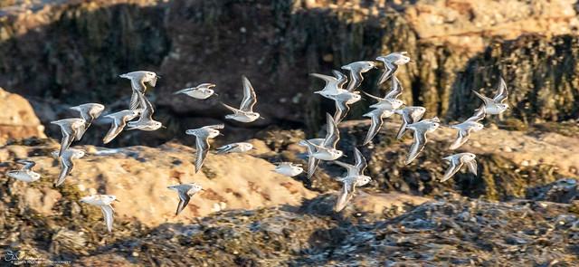 Sanderling on the wing