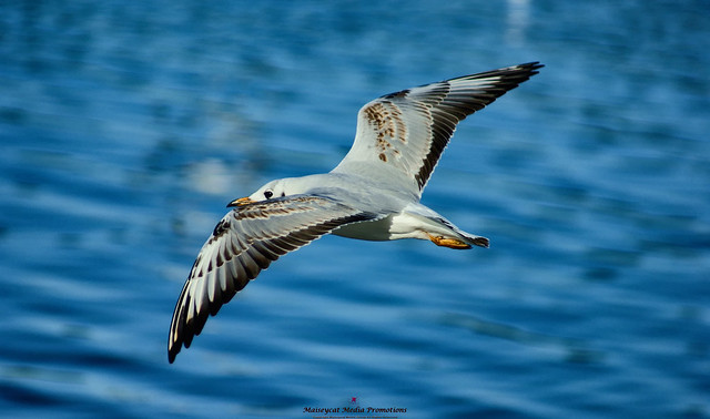 High flying seagull