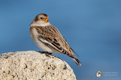 Snow Bunting