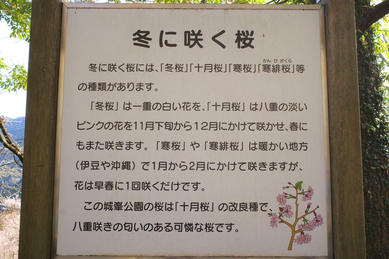 冬桜についての説明