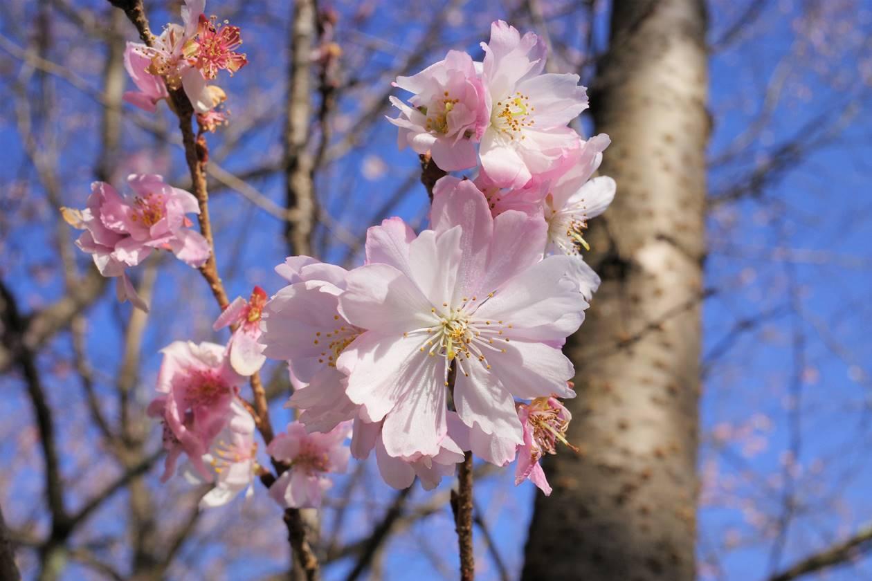 秩父・城峯公園の冬桜