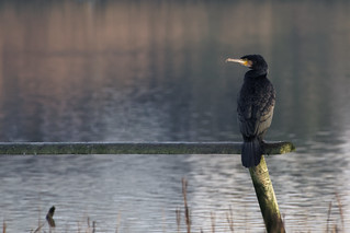 Cormorant - Keyhaven | by Mike.Pursey