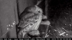 Screech Owl on Lamp - 2019-12-04.jpg