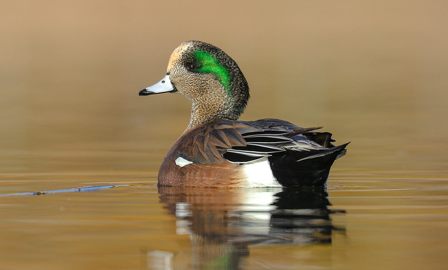 American Wigeon...Male.