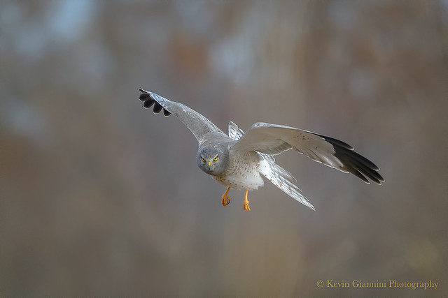 Gray Ghost (Male Northern Harrier)