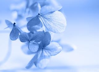 Hydrangea petal blues