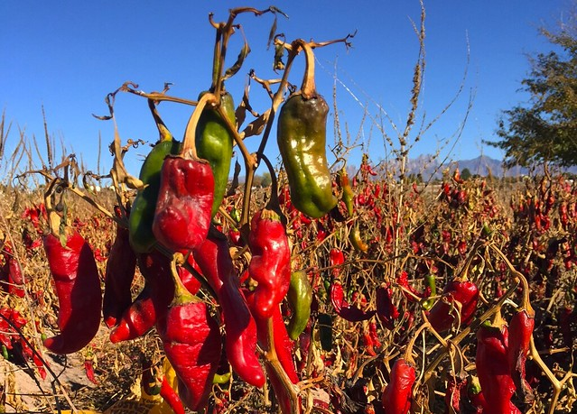 Chile pepper in New Mexico