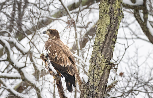 Juvenile bald eagle - Harriman State Park, New York