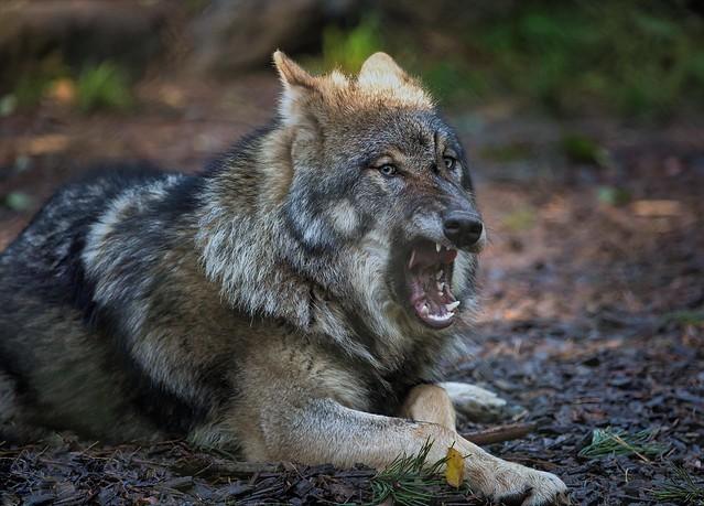 Grauwolf......