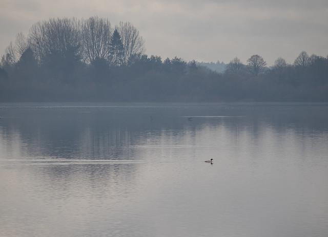Goosander, Blashford Lakes
