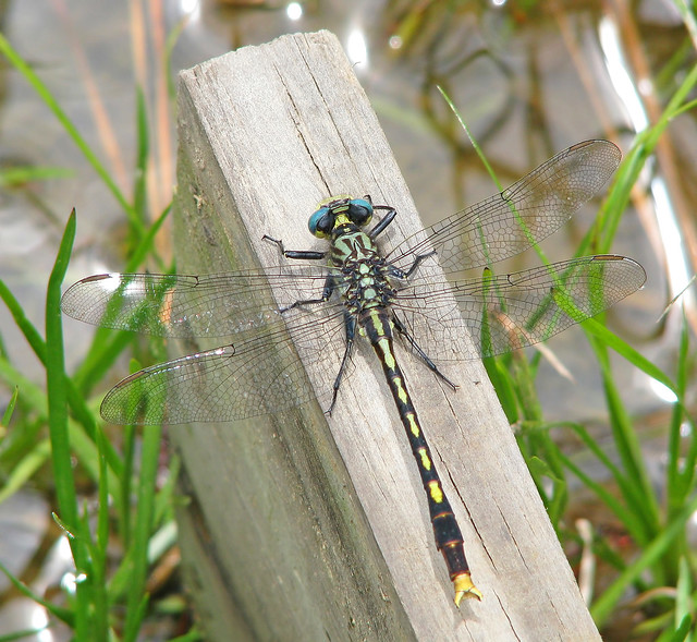 4th Day of Christmas Dragonflies:  Unicorn Clubtail
