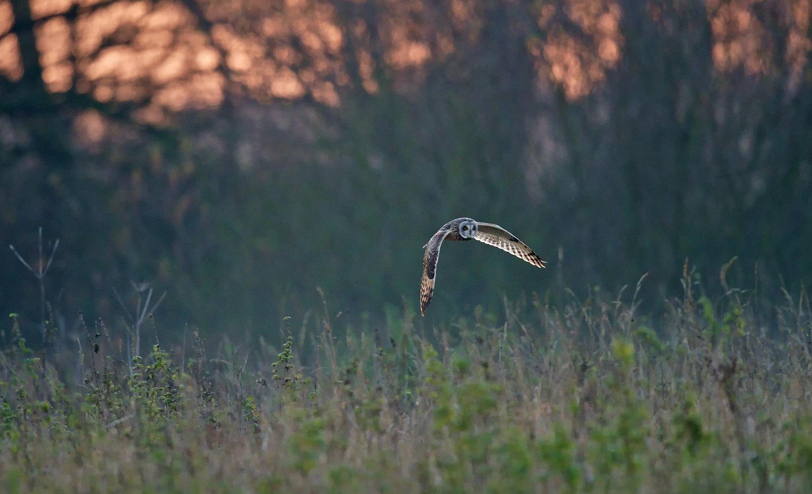 Short-eared Owl - evening hunter.....