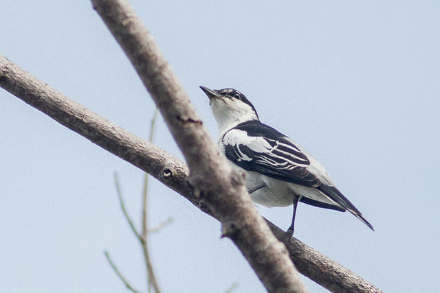 White-shouldered Triller