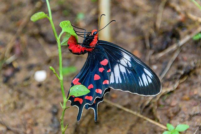 India - Kerala - Butterfly - 2359
