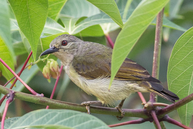 Brown-throated Sunbird -   Female or juvenile