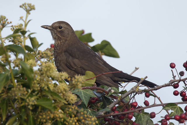 Blackbird Dundalk