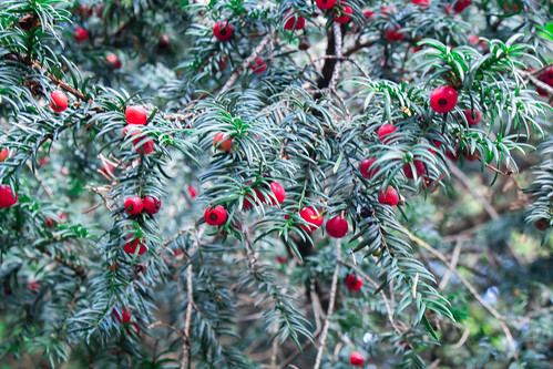 An image of a yew tree covered in berries.