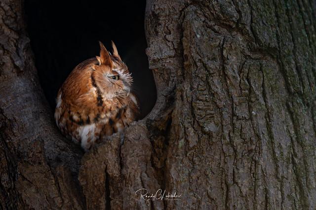 Eastern Screech Owl - Megascops asio | 2019 - 6