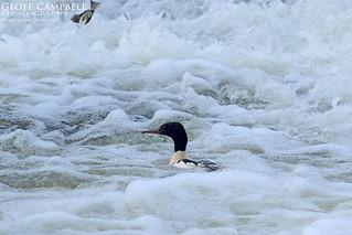 Drake Goosander in the Rapids (Mergus merganser)