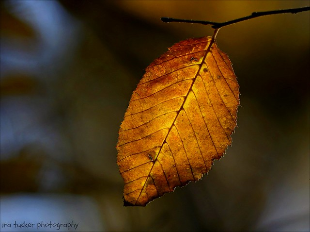 Autumn leaves blaze their swan song of colors and wait for winter....