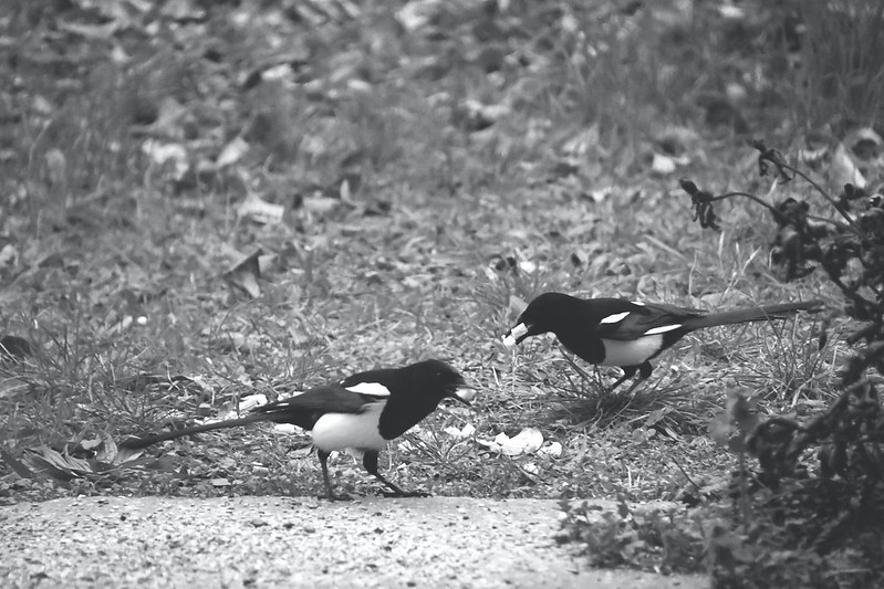 Magpies 22.11 (2)