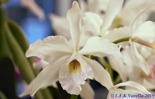 Laelia purpurata schroederae - cultivo Antonio Pscheidt