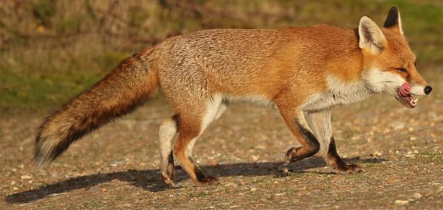 Red Fox (Vulpes vulpes) Dungeness ARC